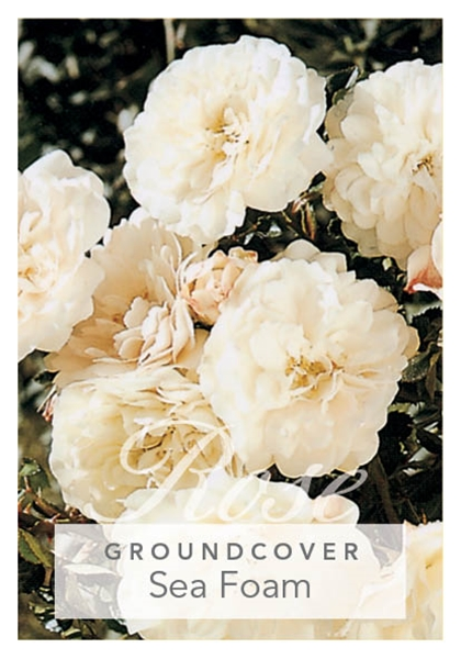 Picture of ROSE SEA FOAM (GROUNDCOVER)