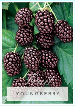 Picture of **FRUIT YOUNGBERRY RUBUS SPECIES