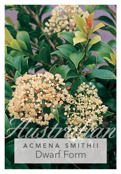 Picture of ACMENA SMITHII DWARF FORM