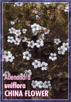 Picture of ADENANDRA UNIFLORA CHINA FLOWER