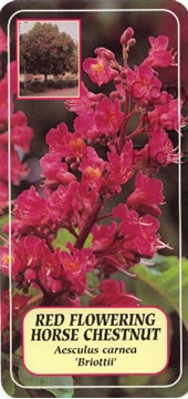 Picture of AESCULUS CARNEA BRIOTTII RED FLOWERING