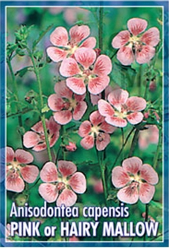 Picture of ANISODONTEA CAPENSIS PINK OR HAIRY MALLOW
