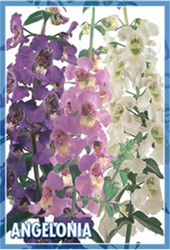 Picture of ANGELONIA ANGUSTIFOLIA SUMMER SNAPDRAGON