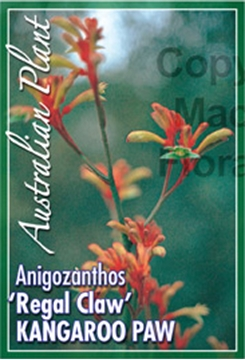 Picture of ANIGOZANTHOS REGAL CLAW