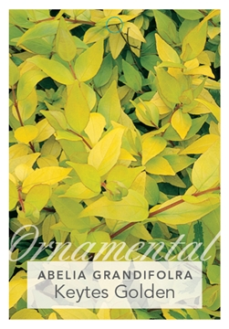 Picture of ABELIA GRANDIFLORA KEYTES GOLDEN