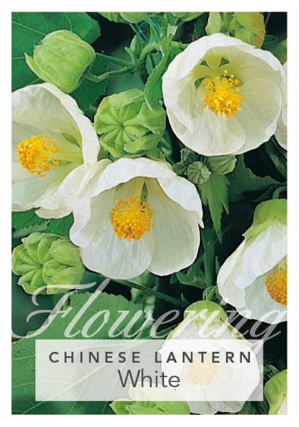 Picture of ABUTILON HYBRID WHITE CHINESE LANTERN