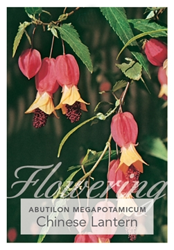 Picture of ABUTILON MEGAPOTAMICUM CHINESE LANTERN