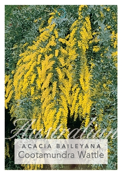 Picture of ACACIA BAILEYANA PROSTRATE FORM COOTAMUNDRA