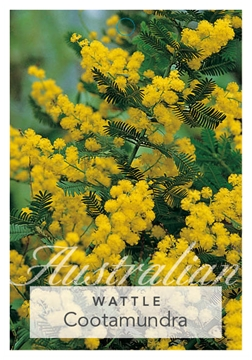 Picture of ACACIA BAILEYANA COOTAMUNDRA WATTLE