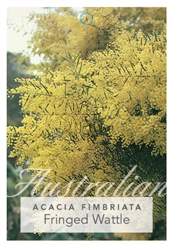 Picture of ACACIA FIMBRIATA FRINGED WATTLE