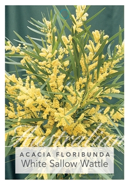 Picture of ACACIA FLORIBUNDA WHITE SALLOW WATTLE