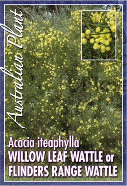 Picture of ACACIA ITEAPHYLLA WILLOW LEAF WATTLE