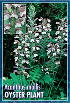 Picture of ACANTHUS MOLLIS BEARS BREECHES OR OYSTER PLANT