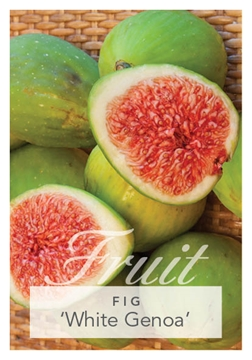Picture of FRUIT FIG WHITE GENOA