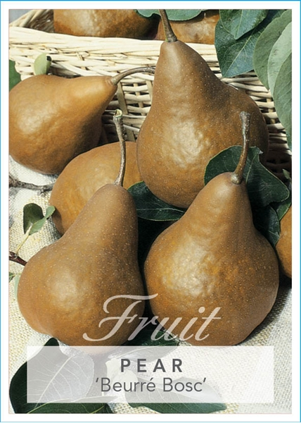 Picture of **FRUIT PEAR BEURRE BOSC