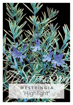 Picture of WESTRINGIA HIGHLIGHT