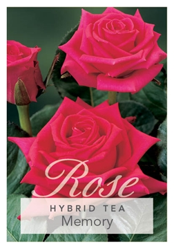 Picture of ROSE MEMORY (HT)
