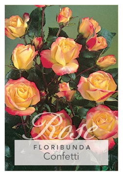 Picture of ROSE CONFETTI (FL)