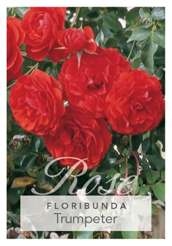 Picture of ROSE TRUMPETER (FL)