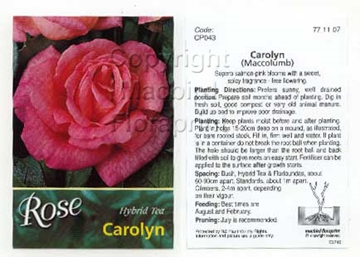 Picture of ROSE CAROLYN (HT)