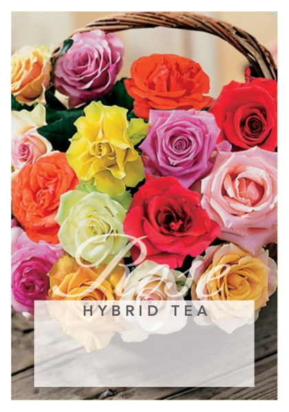 Picture of ROSE HYBRID TEA - MIXED PICTURE (UNNAMED VARIETY)