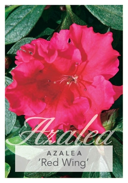 Picture of AZALEA RED WING
