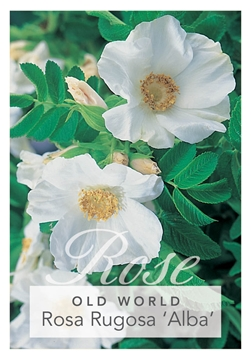 Picture of ROSE ROSA RUGOSA ALBA (OW)