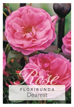 Picture of ROSE DEAREST (FL)