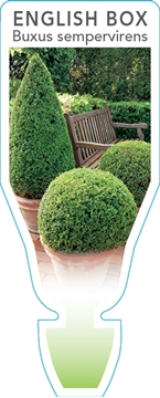 Picture of BUXUS SEMPERVIRENS COMMON OR ENGLISH BOX