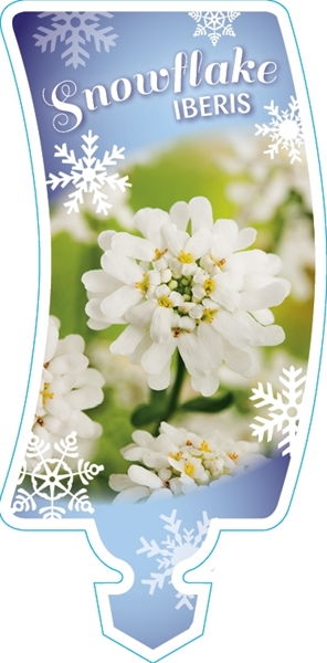 Picture of **IBERIS SNOWFLAKE