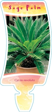 Picture of **HOUSEPLANT CYCAS REVOLUTA SAGO PALM