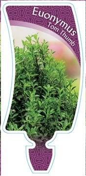 Picture of EUONYMUS TOM THUMB