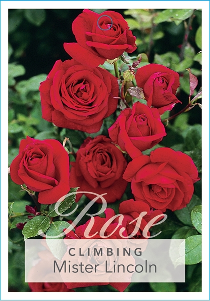 Picture of ROSE MISTER LINCOLN (CL)