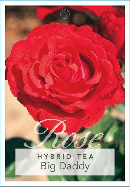 Picture of **ROSE BIG DADDY (HT)
