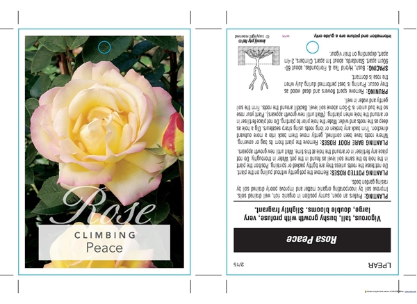 Picture of ROSE PEACE (CL)