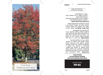 Picture of **QUERCUS PALUSTRIS SPANISH OR PIN OAK