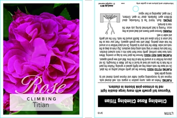 Picture of ROSE CL TITIAN
