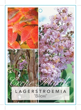 Picture of **LAGERSTROEMIA BILOXI