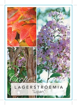 Picture of **LAGERSTROEMIA LIPAN