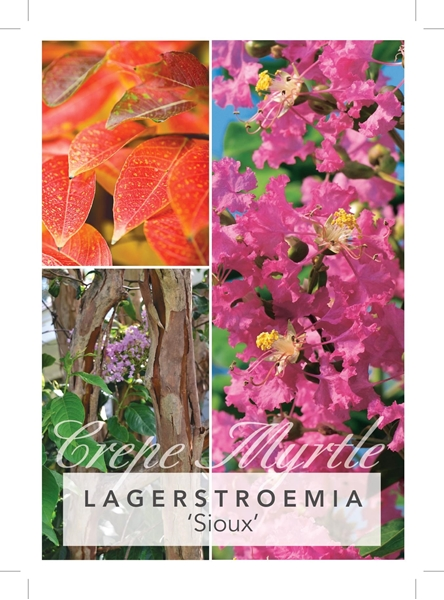 Picture of LAGERSTROEMIA SIOUX