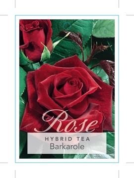 Picture of ROSE BARKAROLE (HT)