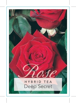 Picture of ROSE DEEP SECRET (HT)