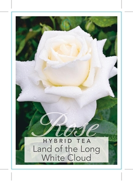 Picture of ROSE LAND OF THE LONG WHITE CLOUD (HT)
