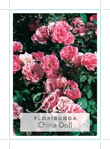 Picture of ROSE CHINA DOLL (FL)