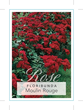 Picture of ROSE MOULIN ROUGE (FL)