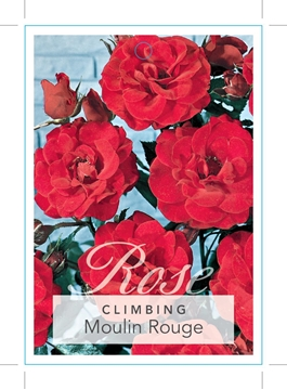 Picture of ROSE CL MOULIN ROUGE