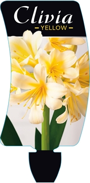 Picture of **HOUSEPLANT CLIVIA YELLOW