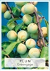 Picture of **FRUIT PLUM GREENGAGE