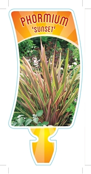 Picture of **PHORMIUM SUNSET SYN P MAORI SUNSE