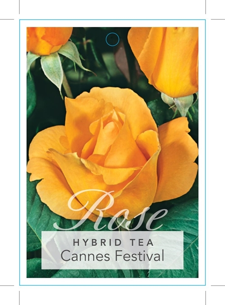 Picture of ROSE CANNES FESTIVAL (HT)